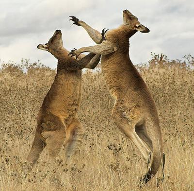 Bouncing kangaroos
